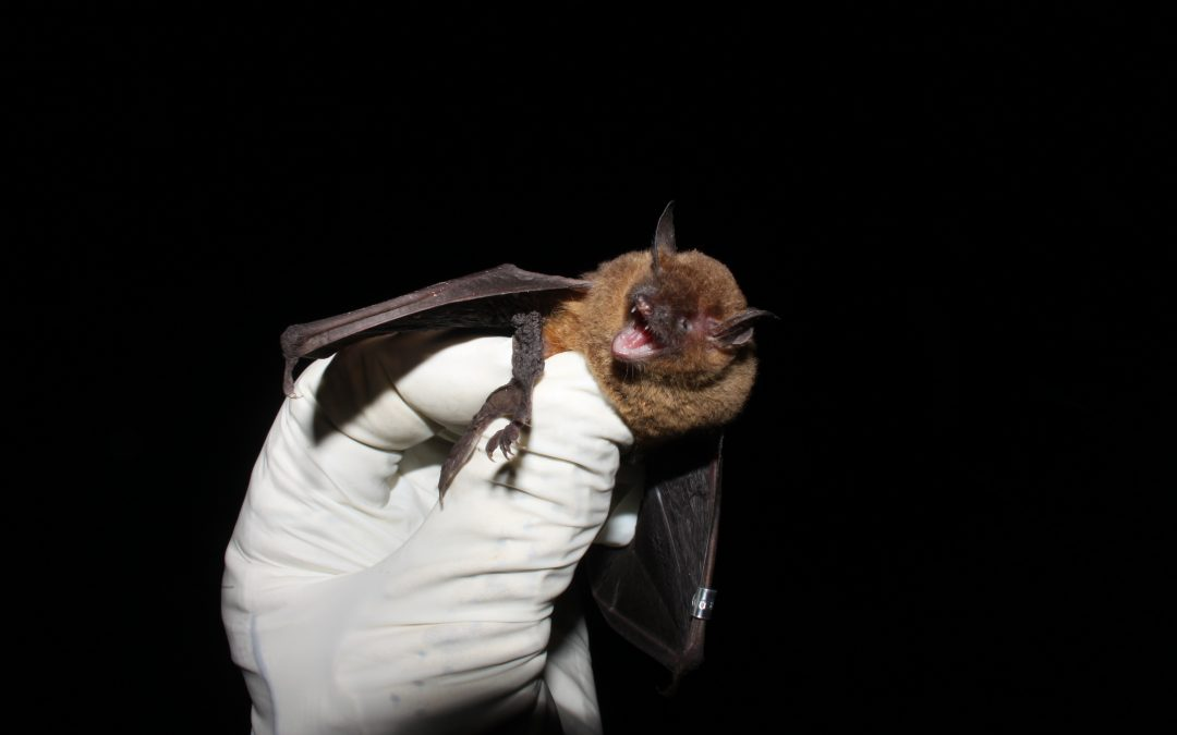 Endangered Bat Monitoring Survey — Fort Campbell, Kentucky